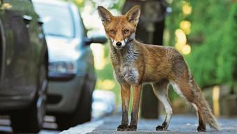 Lassen wir den Fuchs in Grossstädten leben, werden wir eines Tages einen zutraulichen Kleinfuchs haben.