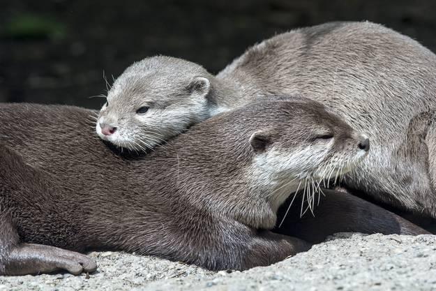 In Mamas Nähe zu sein, ist am wichtigsten für die Jungtiere.