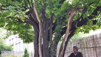Der mächtige Quittenbaum ist rund 175 Jahre alt.