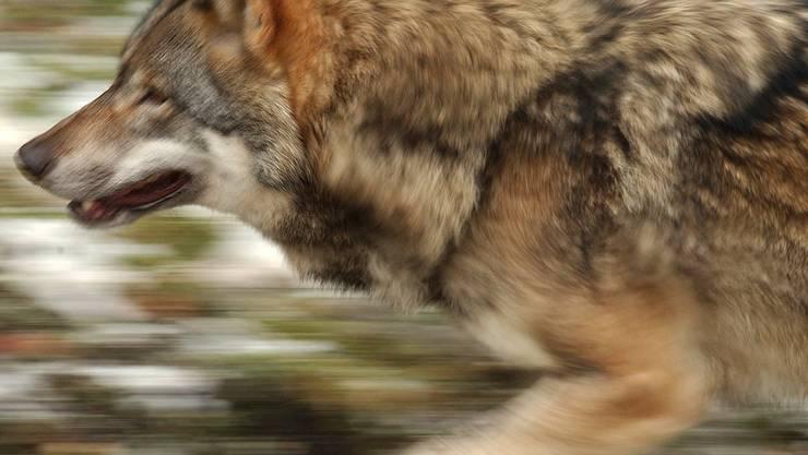 Zwei bisher unbekannte Wölfe haben im Wallis in diesem Sommer Schafe gerissen (Archivbild).