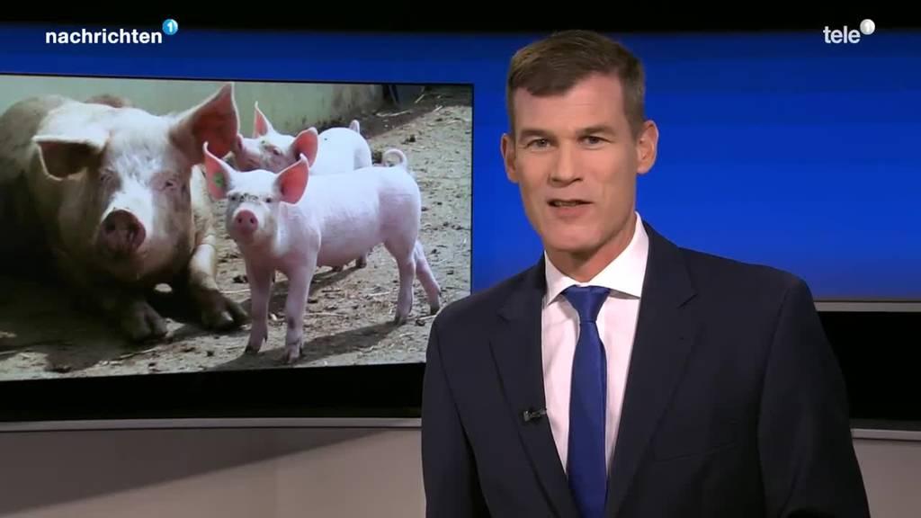 Iglus für Schweine in Meggen