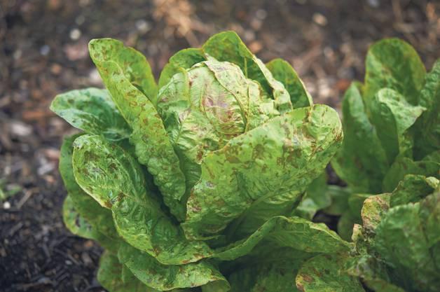 Der Kopfsalat Bunter Forellenschluss kann von Frühling bis Sommer angebaut werden und ist relativ schossfest.