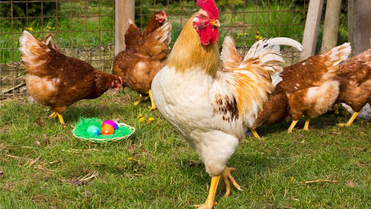 Der Hahn und seine Hühner reagieren etwas irritiert auf die bunten Geschenke des Osterhasen. Fotos: Verena Schmidtke