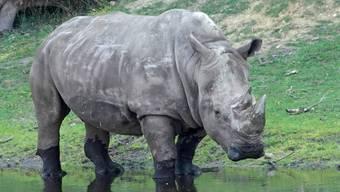 """Die Schweiz widersetzt sich einer Lockerung des Nashon-Schutzes: Breitmaulnashorn """"Doris"""", das im Juli 50-jährig in einem Zoo in Deutschland gestorben ist. (Archivbild)"""