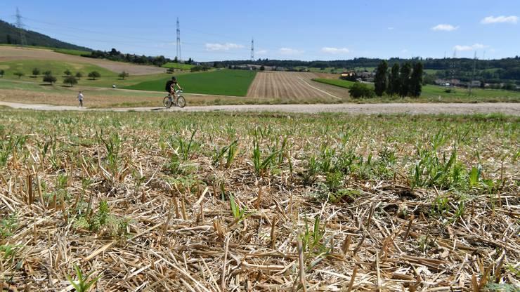 Langsam keimt der angesäte Gras nach der gelungenen Getreideernte.