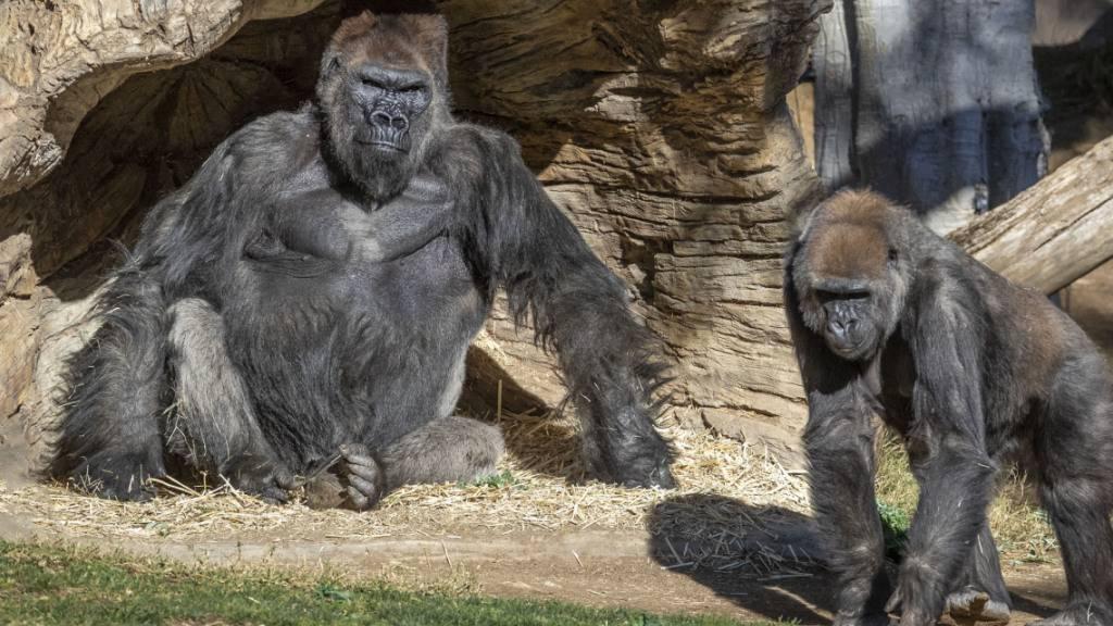Coronavirus bei Gorillas im Zoo von San Diego festgestellt