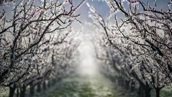 In einem Obstgarten bei Martigny läuft die Sprinkleranlage.