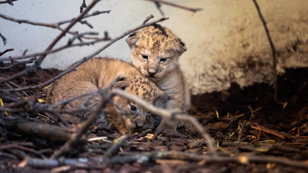 Im Walter Zoo gibt es Löwenbabys