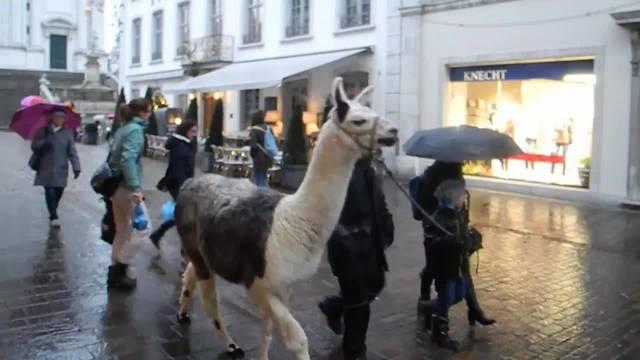 Stadtrundgang mit Lamas