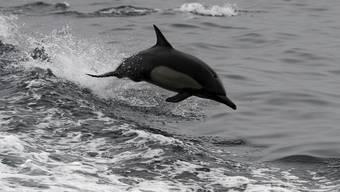 Grössere Hoffnungen setzten die CIA-Forscher in die Ausbildung von Delfinen. Sie sollten Mitte der 60er Jahre etwa die Entwicklung sowjetischer Atom-U-Boote ausspionieren. (Archivbild)