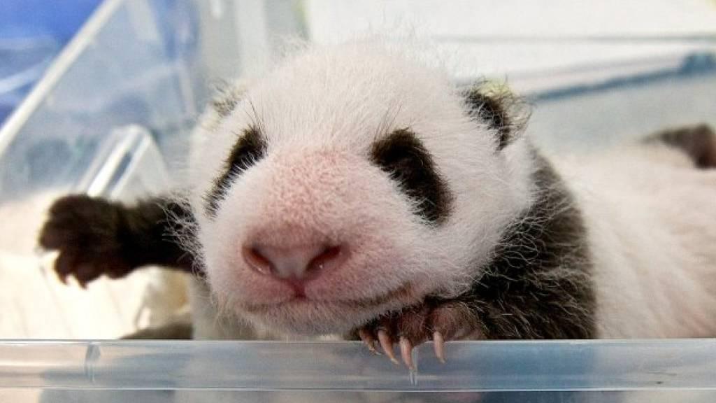 Schon 1400 Gramm: Berliner Panda-Zwillinge nehmen fleissig zu