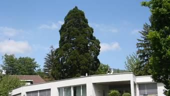 Noch steht der Mammutbaum im Blumenstein-Quartier. (Archivbild)