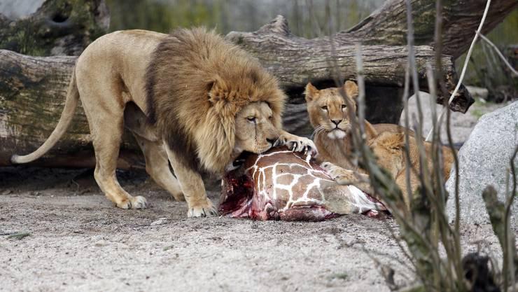 Nettes Nachtessen: Löwen verspeisen im Kopenhager Zoo die Giraffe Marius