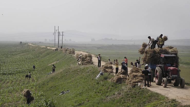 Menschen arbeiten auf Kornfeldern in Nordkorea: Das Land leidet unter einer langen Dürreperiode, Experten befürchten eine Hungersnot