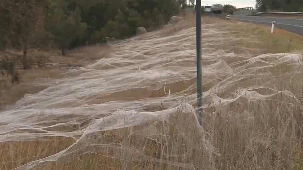 Nach der Mäuseplage die Spinneninvasion: Riesige Spinnennetze in Australien