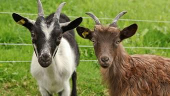 «Uf em Bode»-Archehof in Ramiswil züchtet Pro Specie Rara-Tiere