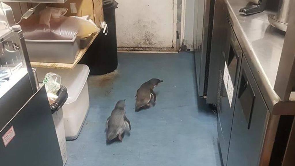 Bereits im Juli mussten sehr wahrscheinlich die gleichen Pinguine gleich zweimal von der Polizei aus einem Sushi-Restaurant in Wellington geholt werden. (Archivbild)