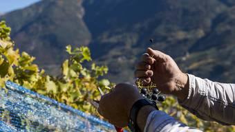 Traubenernte im Wallis: Der Wein-Jahrgang 2019 dürfte laut Bundesamt für Landwirtschaft hervorragend werden. (Themenbild)