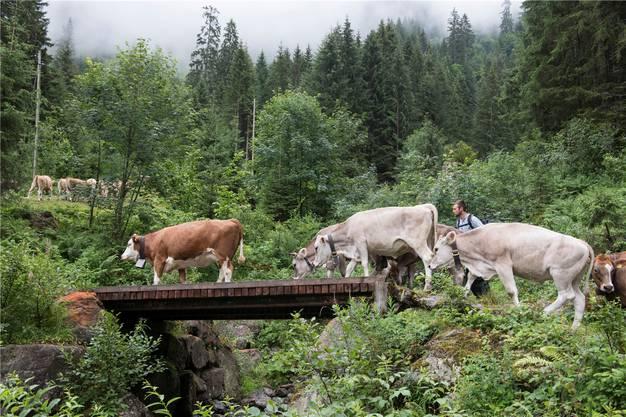 Rinderhirt Willi treibt sein Vieh konzentriert über die heikle Stelle im Aufzug auf die Mettmenalp.