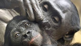 Zwei Bonobos beim Lausen (Symbolbild)