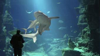 Im Ozeanium sollen auch Haifische leben, allerdings nur solche die an räumliche Begrenzungen angepasst sind.