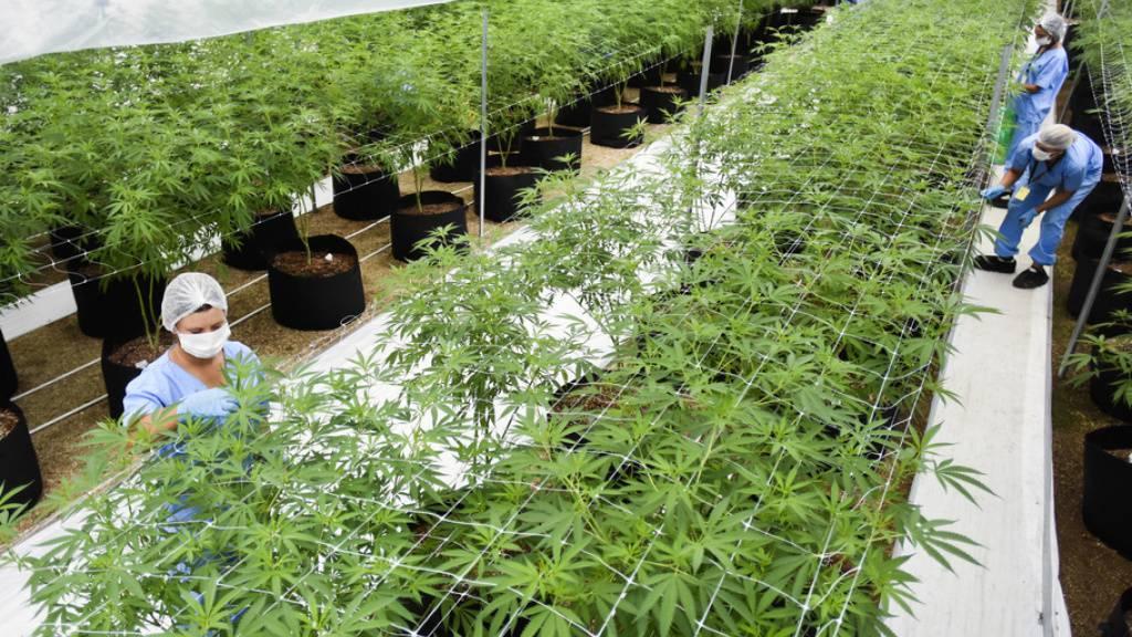 Legale Indoor-Plantage für medizinisches Marihuana. Aber man braucht nicht zu kiffen, um von Cannabis zu profitieren: Ein synthetisches Cannabinoid verhilft Parkinson-Patienten zu besserem Schlaf und weniger Ängsten. (Symbolbild)