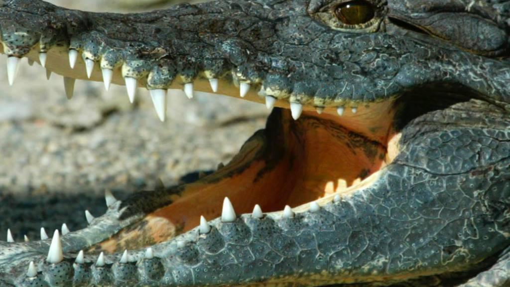 Wilderer in Nepal haben den fast vollständigen Stillstands wegen der Coronakrise ausgenutzt. So wurden etwa drei Krokodile einer vom Aussterben bedrohten Art getötet. (Symbolbild)
