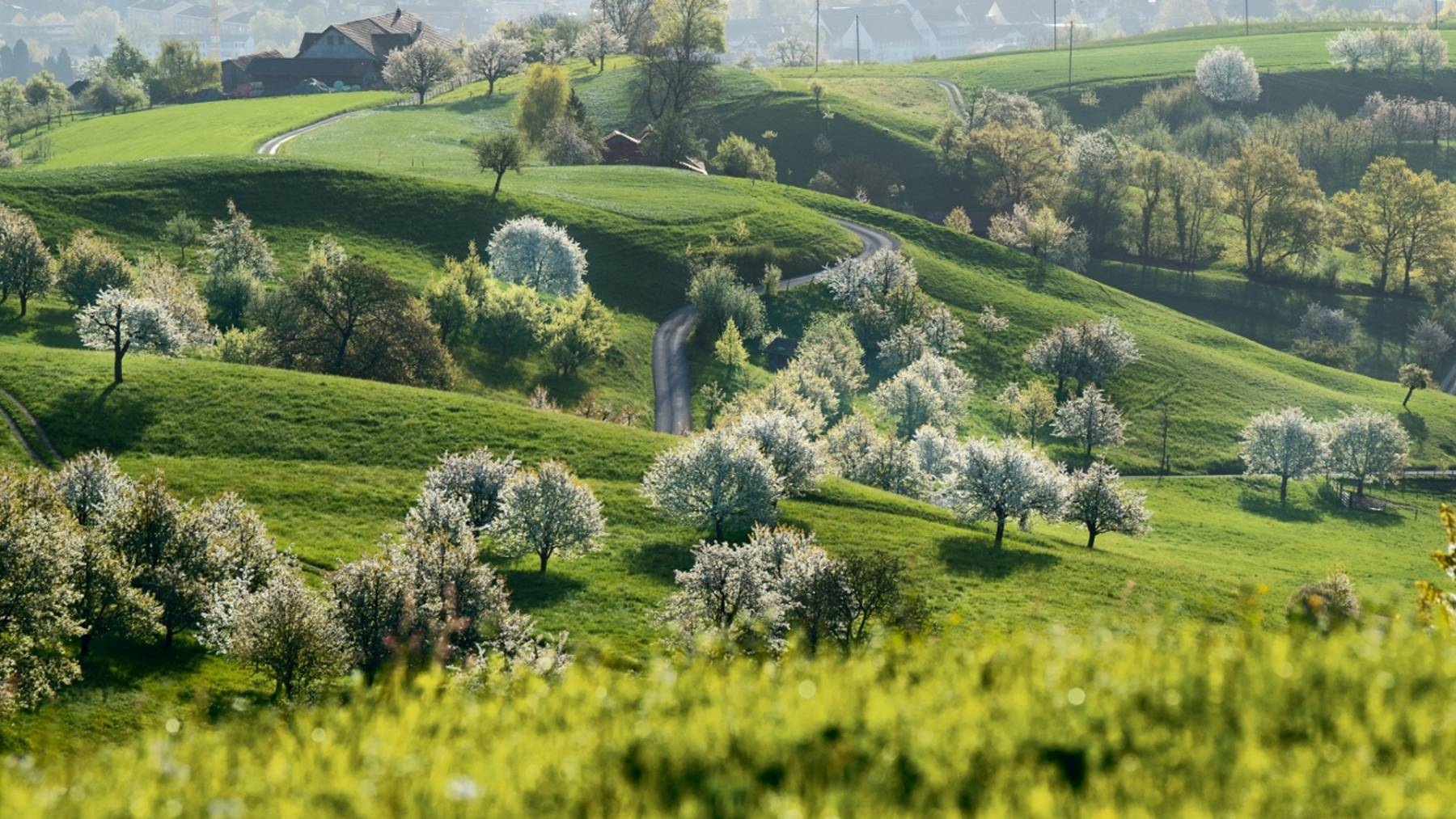 Wenn die Kirschbäume im Frühling blühen: Der Chriesiweg in Gipf-Oberfrick.