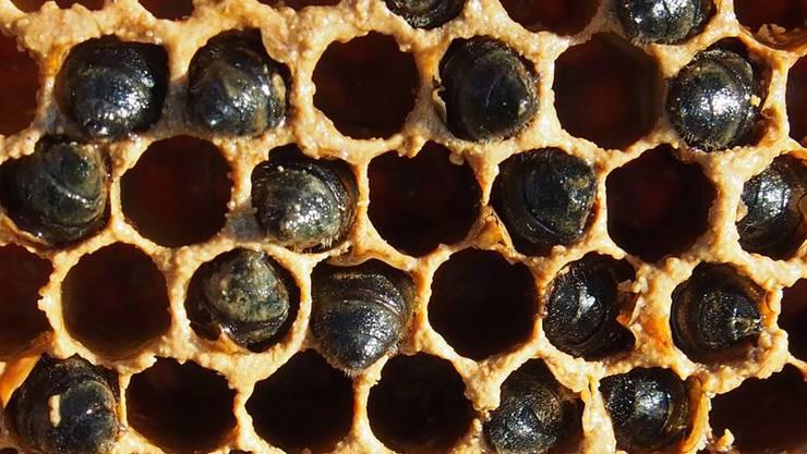 Ein verhungertes Bienenvolk. Es überlebte den Winter nicht.