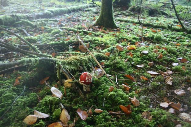 Einsam und giftig – ein Fliegenpilz auf dem von Moos überwachsenen Waldboden.