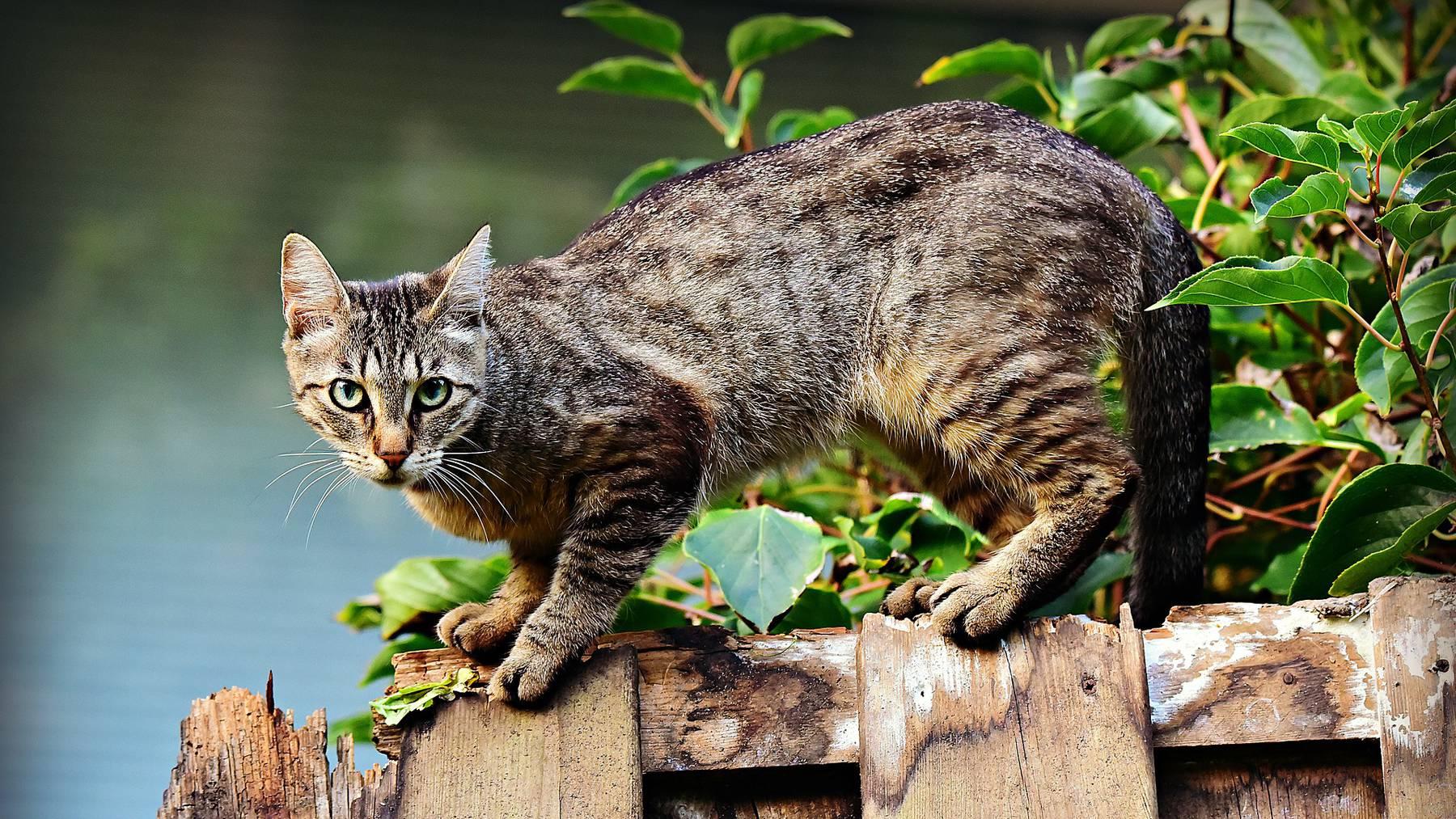 Drei Katzen sind in Attinghausen mit Schussverletzungen beim Tierarzt gelandet (Symbolbild).