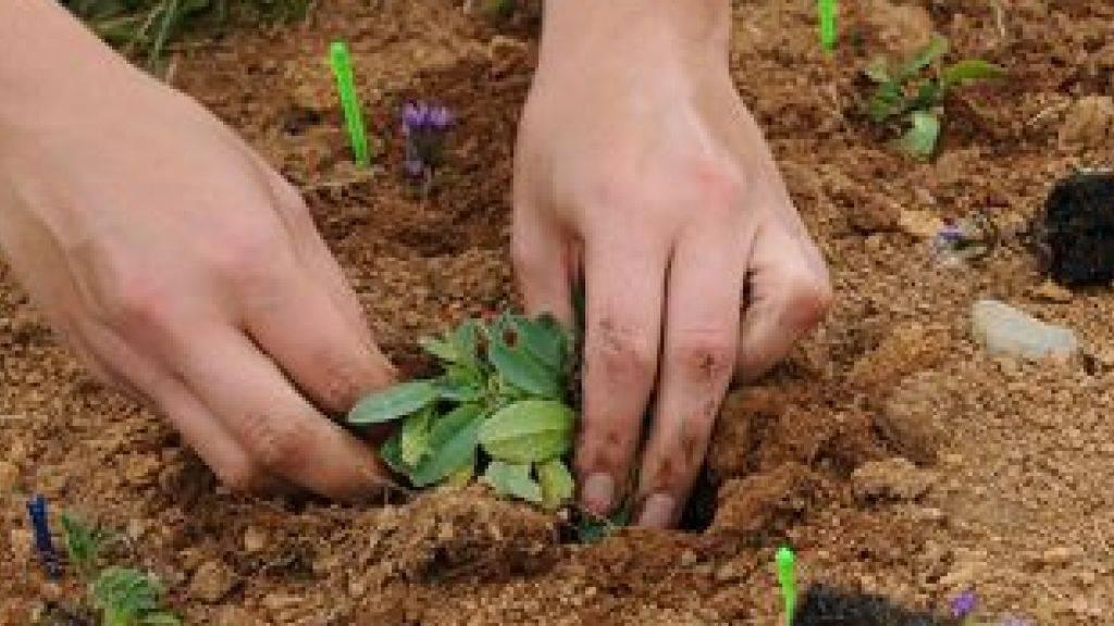 In tiefere Lagen verpflanzte Alpenblumen müssen sich an eine höhere Temperatur und neue Konkurrenz anpassen.