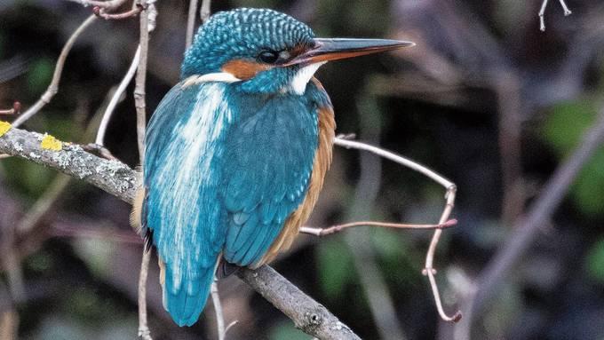 Das freut auch einen Pressefotografen: Auf Reportage am Klingnauer Stausee gelangen gute Vogel-Schnappschüsse.