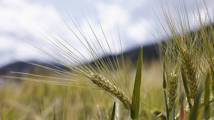 Pilzerkrankungen können schwere Ernteeinbussen bedeuten. Forschende haben Gerste ein Gen aus Weizen eingebaut, das sie resistent macht gegen mehrere Pilzkrankheiten. (Symbolbild)