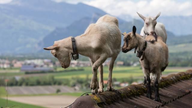Drei Ziegen tummeln sich auf Dachfirst in Igis im Churer Rheintal