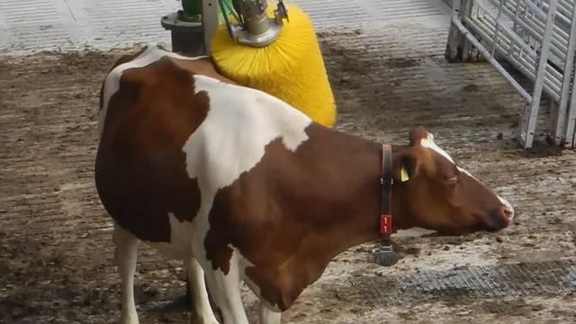 Die Kratz-Bürste auf dem Wallierhof ist bei den Kühen beliebt
