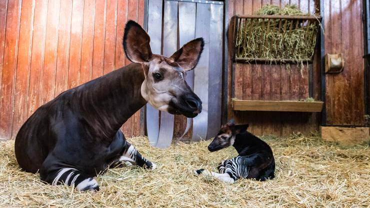 "Die Okapi-Familie im Basler ""Zolli"" hat Nachwuchs bekommen."