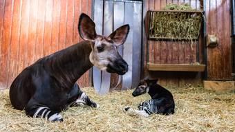 Okapi Quenco