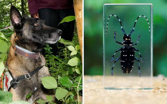 Spezielle Spürhunde werden eingesetzt, um den Asiatischen Laubholzbockkäfer zu finden.