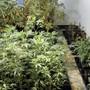 Hanfpflanzen aus der Indooranlage in Wädenswil.