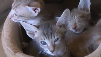 Muss eine Bewilligung für das Halten von Stubentigern her? Der Verein Katzenfreunde Zürich behauptet ja. Sie fordern einen Sachkundeausweis für Katzenhalter. Dieser Vorschlag weckt nicht bei jedem Begeisterung.