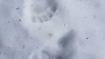 Diese Spuren hat der Bär am Montag bei der Gerschnialp bei Engelberg OW hinterlassen.