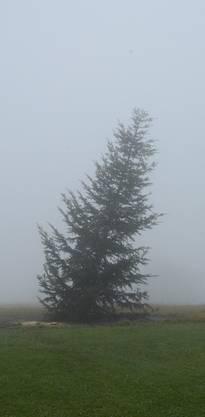Noch einsam, schief und nackt im Nebel: DerWeihnachtsbaum auf dem Chnübel in Dürrenäsch. kus