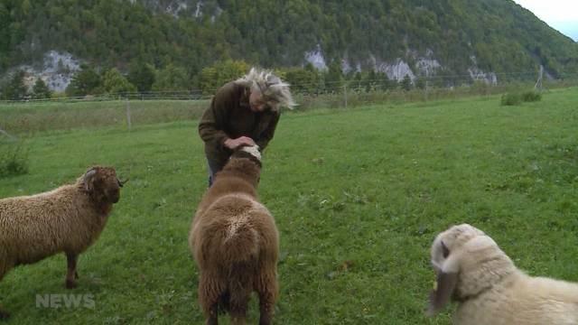 Wo waren die Schafe?