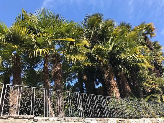 Ticino: Palmen wecken einfach sommerliche Gefühle.
