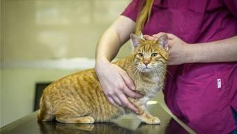 Die Studentin arbeitete neben dem Vollzeitstudium im Tierspital. (Themenbild)