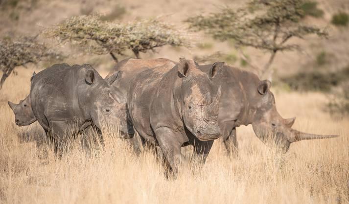 Die Lewa Savanna wird neue Heimat für Nashörner...