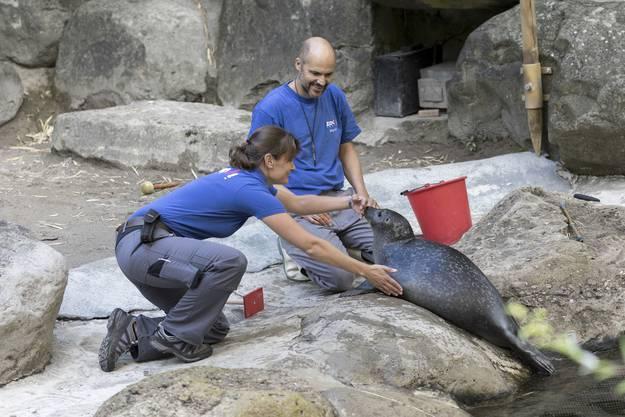 Dank des Trainings haben die Seehunde weniger Stress, wenn tatsächlich der Tierarzt kommen muss.