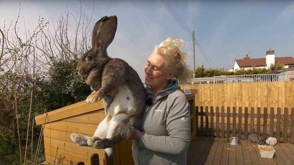 Jemand hat das weltgrösste Kaninchen dieses Ex-Playboy-Models geklaut