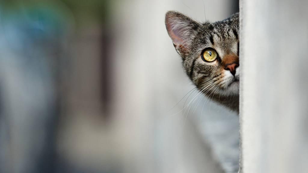 Besser vorsichtig sein: Katzen wurden im Südteil von London von Füchsen zerfleischt.